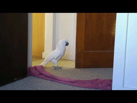 Silence Is Not Golden With A Cockatoo