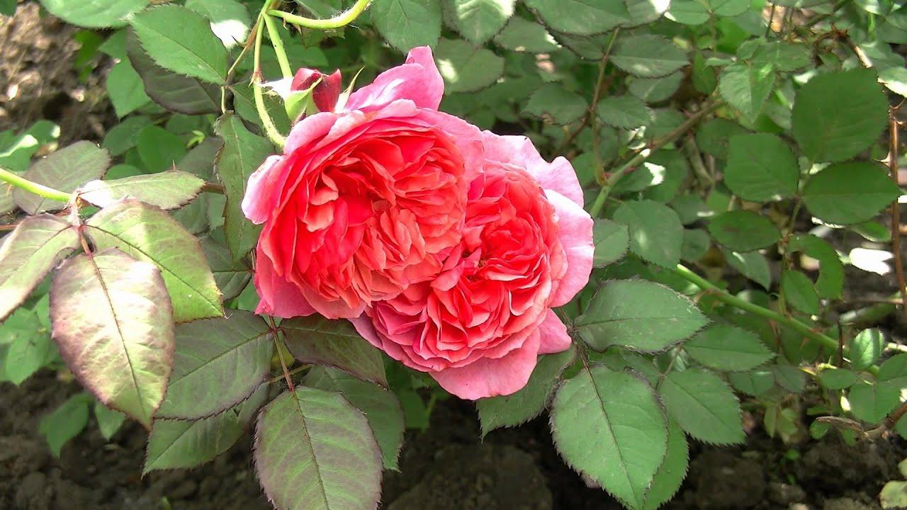 фото зеленая роза
