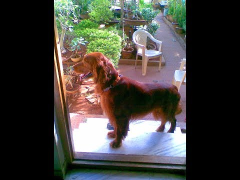 Incredible Irish Setter Zubi - Dr S Bakhtiar Choudhary