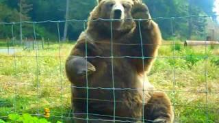 Kodiak Bear Waving