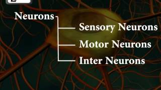 Neurons or nerve cells   Structure function and types of neurons   Human Anatomy   3D Biology