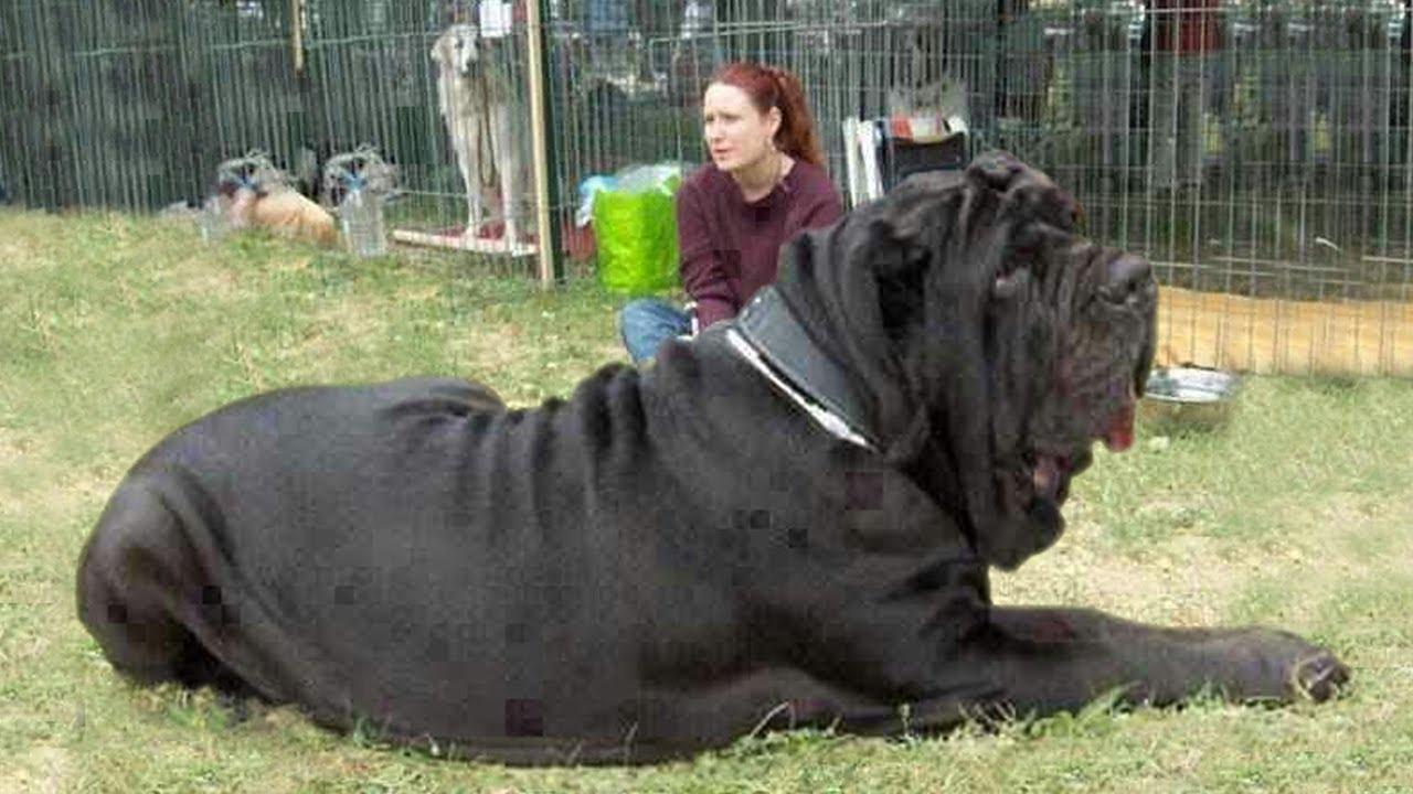 The Largest Biggest Heaviest Breed Of Dog In The World