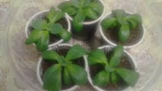 Комнатные растения из семян 2 часть