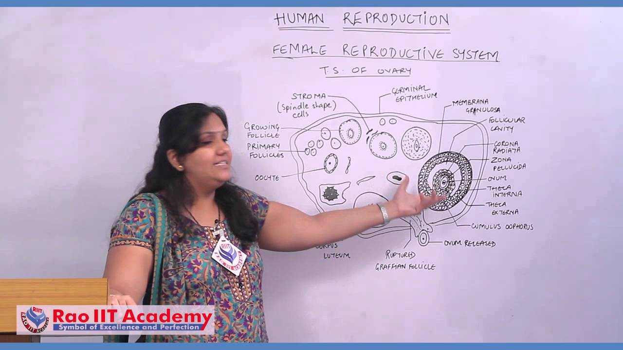 Female Reproductive System And Gametogenesis Neet Aipmt Aiims