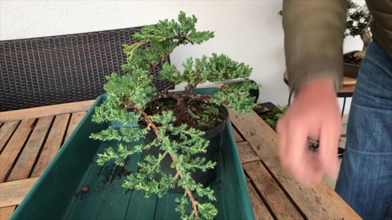 Create A Juniper Cascade Bonsai For A Few Euros Great Result Youtube
