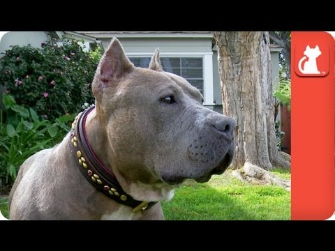 Pit Bull Victim of Dog Fighting Abuse Heals - Tails of Survival
