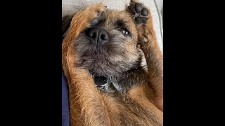 BEAUTIFUL BORDER TERRIER DOGS MOMENTS