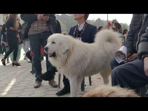 White Tibetan Mastiff - The rear one.