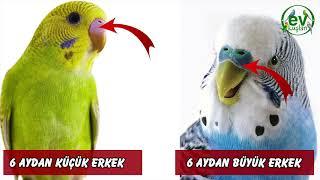 Muhabbet Kuşu Yaşı Nasıl Anlaşılır?