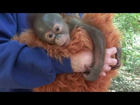 Thumbnail: Baby Orangutan Born at the Houston Zoo