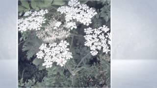 Борщевик сибирский (Heracleum sibiricum)