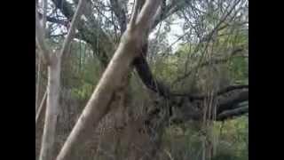 Foxhound Americano Com Beagle - Caçada De Raposa..3gp