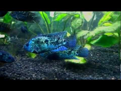 125 Gallon Planted Freshwater South / Central American Cichlid Fish Tank Aquarium