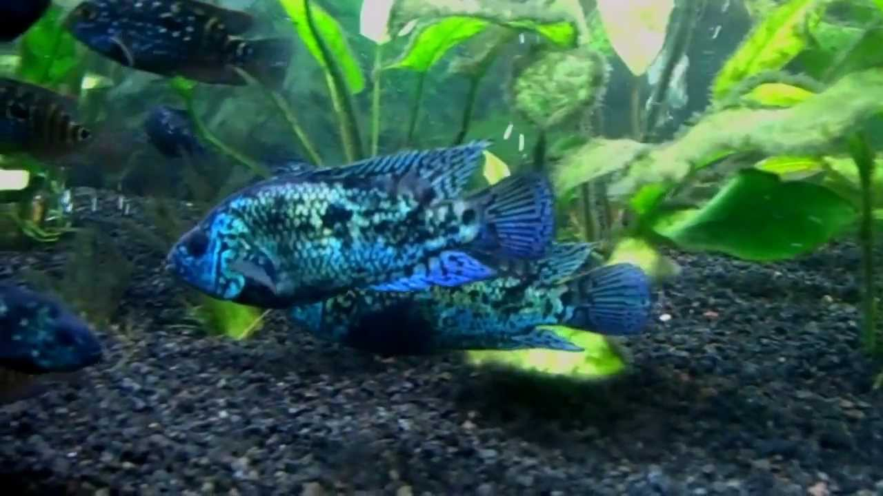 Freshwater aquarium fish in south africa - 125 Gallon Planted Freshwater South Central American Cichlid Fish Tank Aquarium