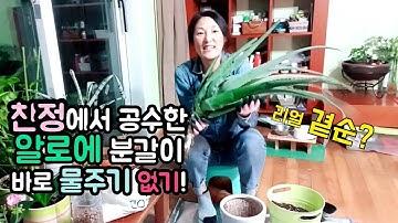 알로에 곁순 분갈이 심기, 물주지 마세요!!! Repotting Aloe Vera // 호박네하우스