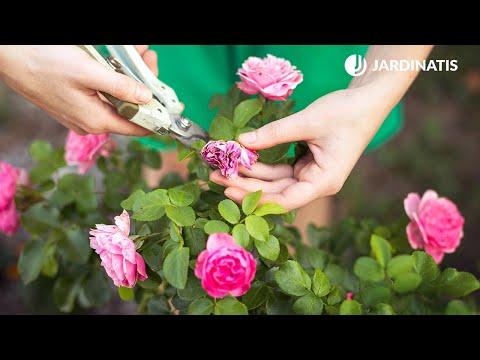 Por qué mi rosal da flores cada vez más pequeñas