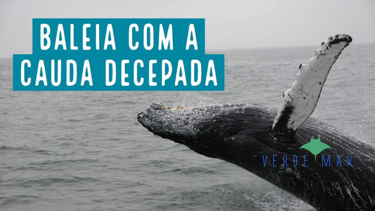Baleia tem cauda decepada por barco de pesca em Santa Catarina