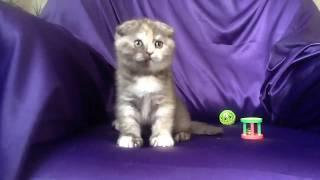 ПРОДАЖА! Шотландская кошечка  Scottish fold питомник Lanssary окрас шоколадный черепаховый
