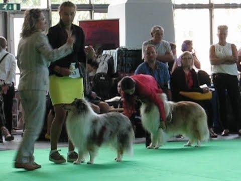 World Dog Show COLLIE rough females intermediate class Amsterdam 10.08.2018