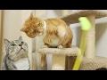 funny cat trying to intercept toy / 【猫 おもしろ】猫じゃらし遊びに割り込む猫