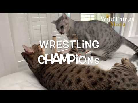 Cats Playtime Wrestling (Egyptian Mau vs Savannah)