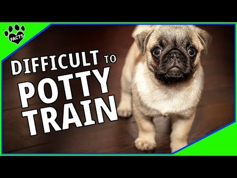 Difficult To Potty Train Dog Breeds and Housebreaking Tips