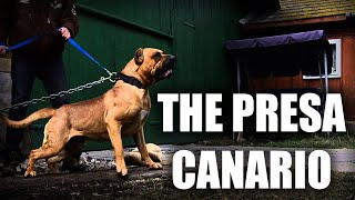 THE PRESA CANARIO  A QUICK LOOK AT THE HISTORY AND BREED STANDARD