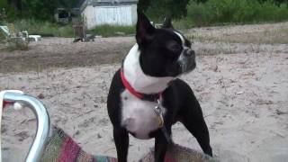 Maggie Goes to the Beach...a dog in the sand - boston terrier french bulldog mix