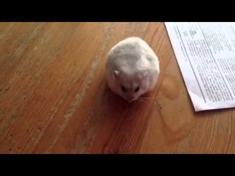 Cute Hamster Spooked