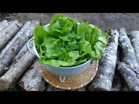 la cueillette la feuille cueillir de la salade en pr servant la plante. Black Bedroom Furniture Sets. Home Design Ideas