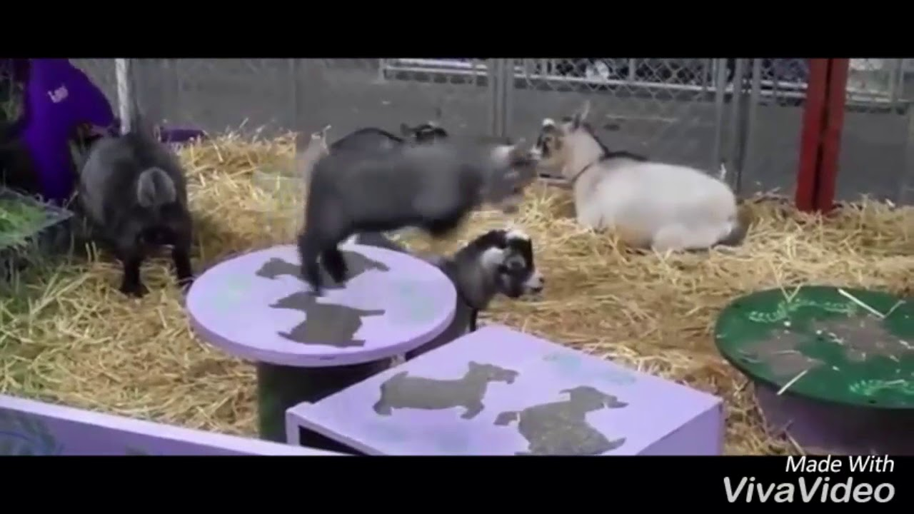 how funny little goat
