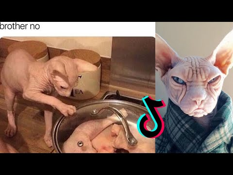 Funny Sphynx Cat [HAIRLESS CAT TIKTOK COMPILATION] ~Part 3