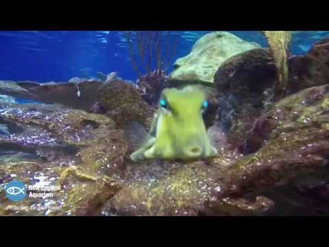 Curious Little Trunkfish
