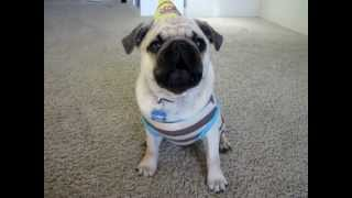 The Birthday Pug-o-gram