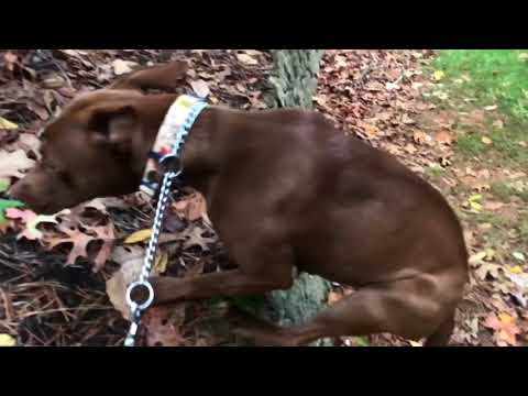 Pharaoh Hound Pitt Mix