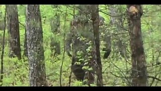 new amazing real bigfoot footage in hd