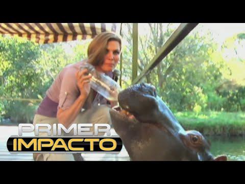 El encuentro de Montserrat Oliver con un hipopótamo