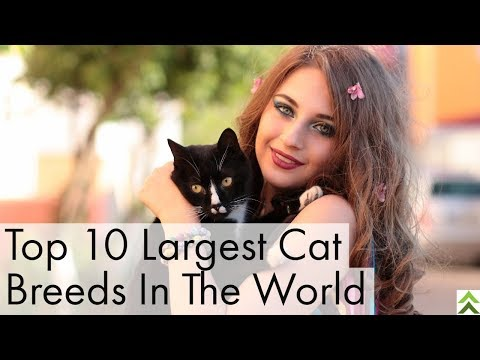 Top 10 Largest Cat Breeds In The World