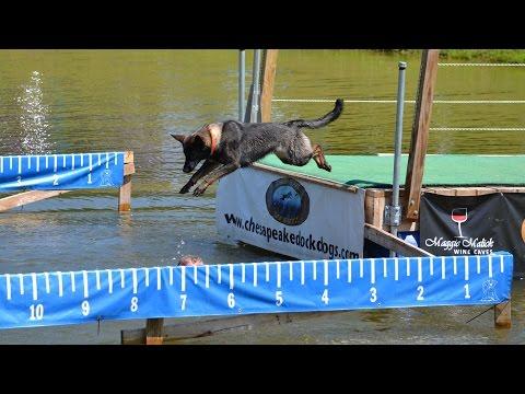 German Shepherd Dog - DOCK DIVING SNAFU! Hillarious!