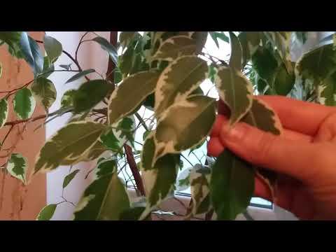 Фикус Бенджамина, уход. Почему опадают листья у фикуса