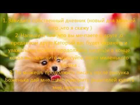 Купить шпица в москве 16 000 руб цена шпица в нашем клубе с документами ркф клуб мини пёсики продажа собак в москве йоркширский терьер.