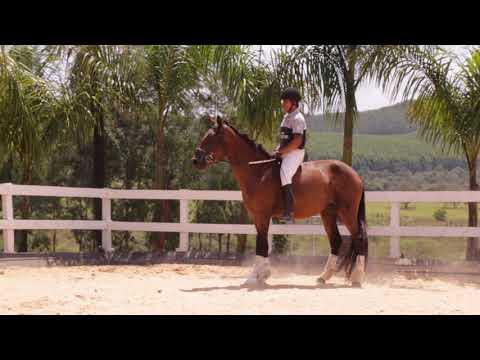 Lote 07 - Malagueta FR - Cavalos puro sangue Lusitanos - Coudelaria aguilar