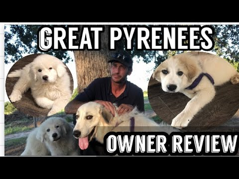 GREAT PYRENEES DOG REVIEW-REAL REVIEW