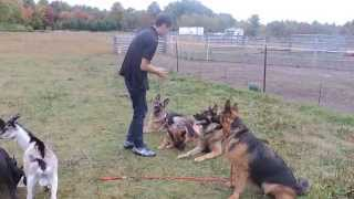 Trained German Shepherd Behave Around Farm Animals
