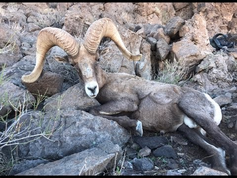 2018 Arizona Zero Guide Fee Nelsoni Desert Sheep  (The Guide Life) Antler Trader thumbnail