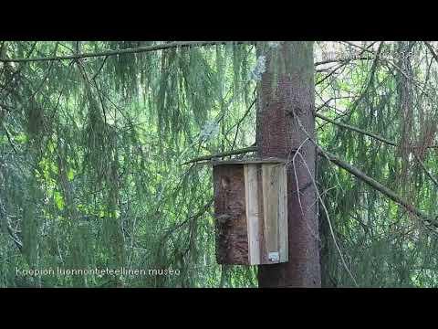Kärppä löytää liito-oravan