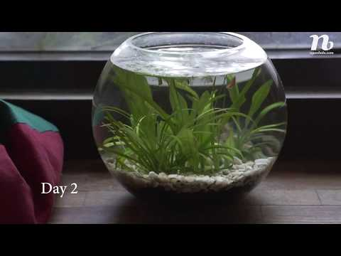 My Low Tech Planted Fish Bowl In 7 Days (no Co2, No Filter, No Ferts, Natural Light)