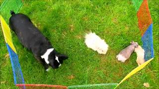 Boston Terrier Eating Grass With Guinea Pigs
