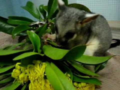 Baby Brushtail Possum Youtube