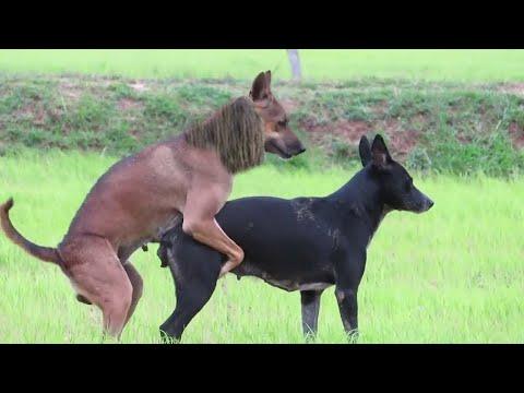 OMG!! RainySeasonDog, Flat Coated Retriever meeting Female AUS Cattle Dog in Tavien Behind My House